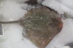Small-eyed ray - Raja microocellata