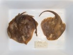 Rajella fyllae - pair of round skates from northern Gulf