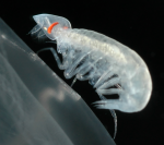 Glossocephalus rebecae Zeidler & Browne, 2015 in vivo photograph of male from Monterey Bay region (36.60°N 127.37°W)