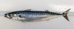 Scomber scombrus - Atlantic mackerel (adult)