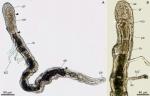 Psammodrilus curinigallettii