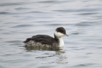 Slavonian Grebe in winter plumage.