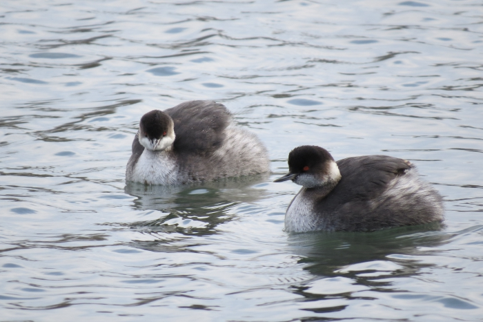 Black-necked Grebes in winter plumage.