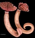 Pseudobranchiomma grandis, Lyttelton, New Zealand