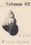 Mohrensternia subprotogena Zhizhchenko, 1936