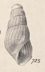 Turbonilla retusa Turton, 1932