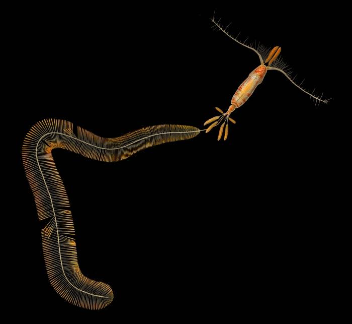Calocalanus plumulosus