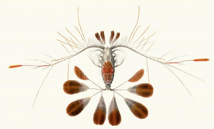 Calocalanus pavo