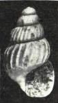 Haurakia chemnitzia Laws, 1948