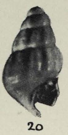 Linemera kaawaensis Laws, 1940