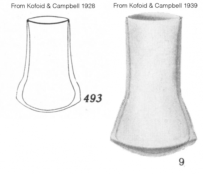 Amplecetellopsis angularis description drawings