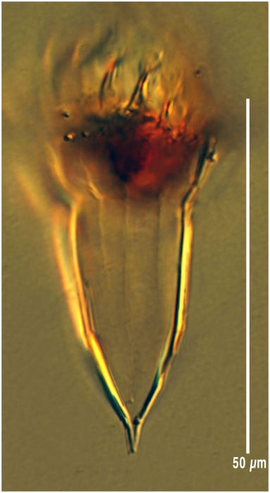 Ormosella bresslaui