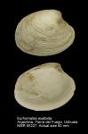 Eurhomalea exalbida