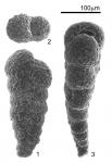Textularia earlandi Parker, 1952