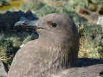 Detail of skua