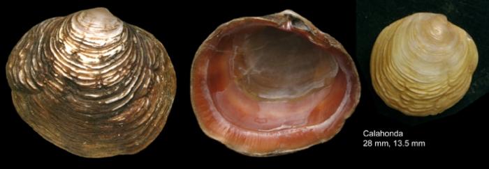 Ungulina cuneata (Spengler, 1798)