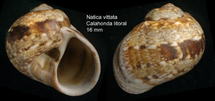 Natica vittata (Gmelin, 1791)Shell from Calahonda, Málaga province, Spain, actual size 16 mm
