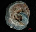 Dendropoma lebeche Templado, Richter & Calvo, 2016 Holotype from Cala Abellán, Cabo de Palos, Spain (11 x 9 mm)