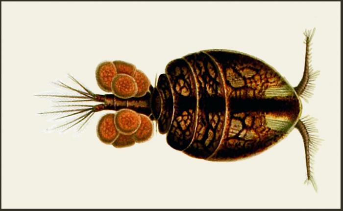 Asterocheres echinicola (Norman, 1869)  depicted as Asterocheres violaceus by Giesbrecht