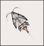 Dyspontius fringilla