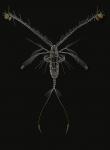 Euaugaptilus hecticus