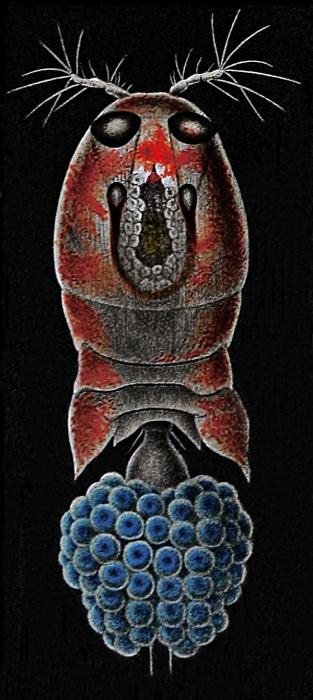 Corycaeus obtusus