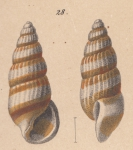 Rissoina hanleyi Schwartz von Mohrenstern, 1860