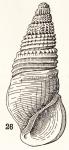 Rissoina efficata Brazier, 1877