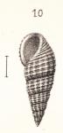 Rissoina exasperata Souverbie, 1866 in Souverbie & Montrouzier, 1866