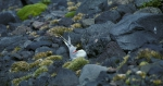 Antarctic Tern on nest_1