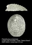 Phenacolepas omanensis