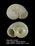 Moerchia morleti
