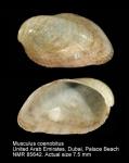 Musculus coenobitus
