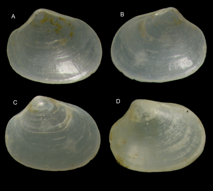 Kurtiella tertia Gofas & Salas, 2016Paratypes from off Mussulo, Angola (A-C, complete shell, left and right valves, 1.00 mm; D: another complete shell viewed from right valve, 1.00 mm)