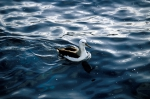 Black-Browed Albatross01