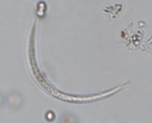 Raphidiopsis curvata