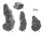 Ammotium salsum (Cushman & Br�nnimann, 1948), author: Encarna��o, Sarita Camacho da