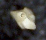 Quinqueloculina lamarckiana d'Orbigny. Malorca, Sa Coma.