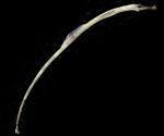 Syngnathus fuscus larvae