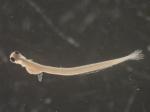 Alosa sapidissima larvae