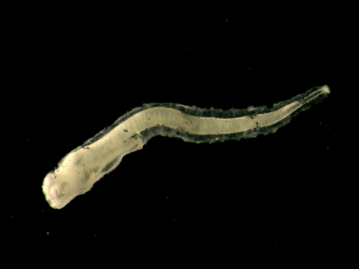 Glyptocephalus cynoglossus larvae