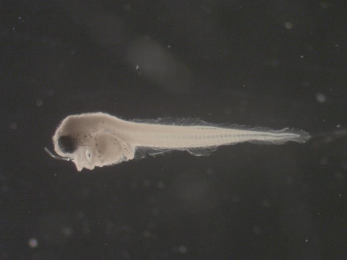 Liparis inquilinus larvae