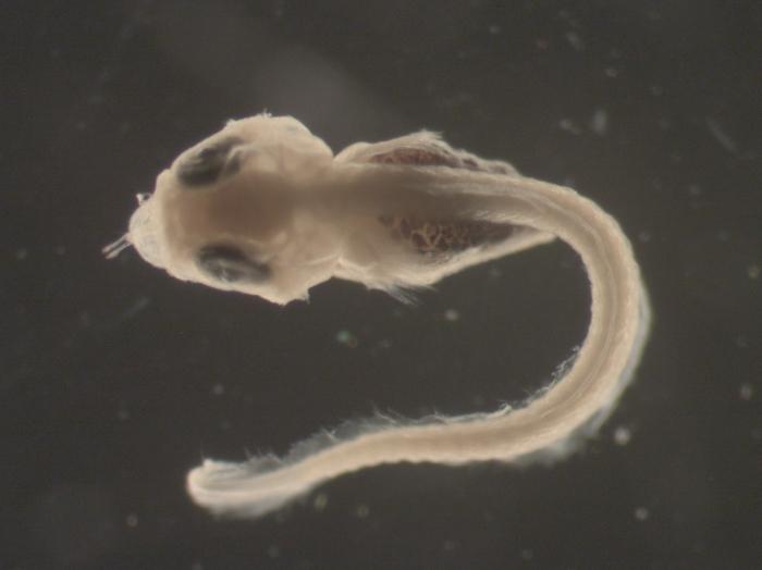 Myoxocephalus aenaeus larvae