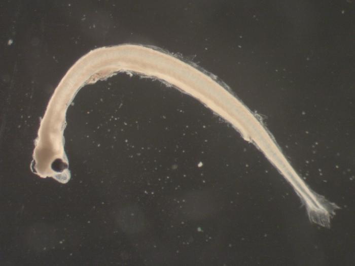 Osmerus mordax larvae