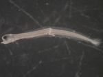Pholis gunnellus larvae