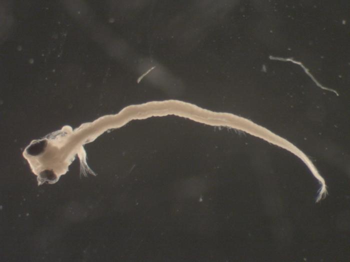 Ulvaria subbifurcata larvae