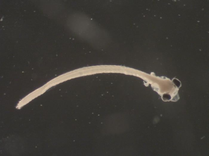 Alosa sp larvae