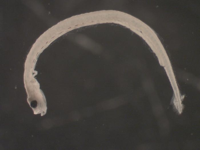 Clupea harengus larvae