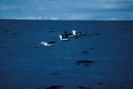 Black-Browed Albatross03