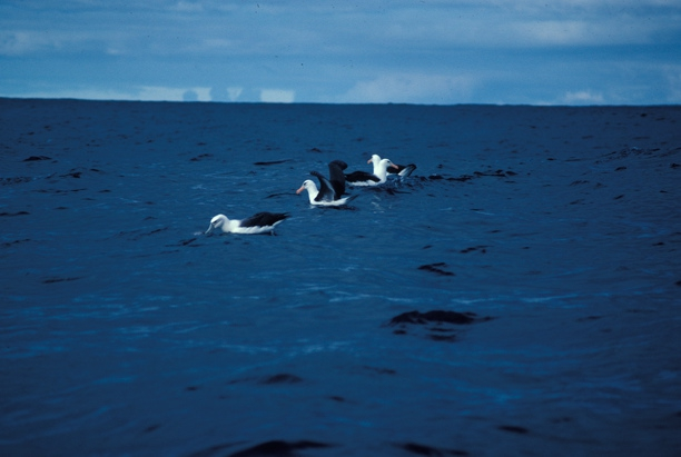 Black-Browed Albatross03